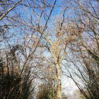 Cime - Mise en sécurité d'un chêne centenaire foudroyé 1