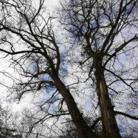 Cime - Mise en sécurité d'un chêne centenaire foudroyé 4