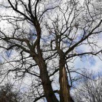 Cime - Mise en sécurité d'un chêne centenaire foudroyé 5