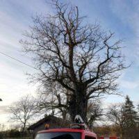 Cime - Taille d'entretien - suppression bois mort 5