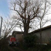 Cime - Taille d'entretien - suppression bois mort 6